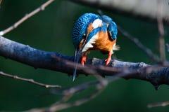 Il martin pescatore comune (atthis del Alcedo) Fotografie Stock
