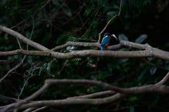 Il martin pescatore comune (atthis del Alcedo) Fotografie Stock Libere da Diritti