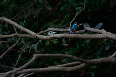 Il martin pescatore comune (atthis del Alcedo) Fotografia Stock