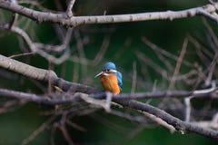 Il martin pescatore comune (atthis del Alcedo) Fotografia Stock Libera da Diritti
