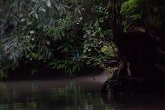 Il martin pescatore nascosto Fotografia Stock