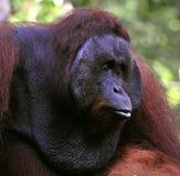 Il maschio adulto dell'orangutan. Fotografie Stock