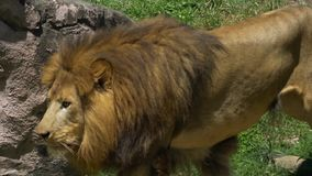 Il maschio adulto Lion Gets Up e comincia il gambo, 4K stock footage