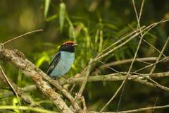 Il maschio adulto Manakin blu/Sorso-ha munito Manakin di coda (Chiroxiphia) Fotografie Stock
