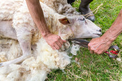 Il maschio arma la lana sheaving dalle pecore con le forbici fotografie stock