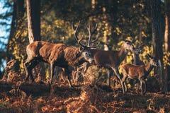 Il maschio dei cervi nobili con i hinds si è acceso da luce solare in una foresta di autunno Immagini Stock