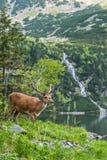 Il maschio dei cervi sul bordo del lago con le alte montagne sopra appoggia Immagine Stock