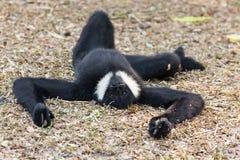 Il maschio del gibbone cheeked bianco fotografia stock