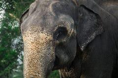 Il maschio dell'elefante dello Sri Lanka immagini stock