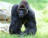 Il maschio della gorilla Fotografie Stock