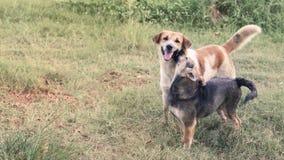 Il maschio ed i cani femminili esaminano la macchina fotografica con le tinture sul prato inglese in Tailandia fotografie stock