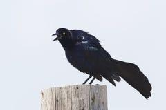 Il maschio Grande-ha munito Grackle di coda che chiama dal Texas post- di legno Fotografia Stock