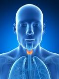 Il maschio ha evidenziato la ghiandola tiroide Fotografia Stock