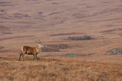 Il maschio ha fotografato su Jura in Scozia Immagine Stock Libera da Diritti