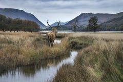 Il maschio potente sbalorditivo dei cervi nobili guarda fuori attraverso il lago verso il Mo Immagini Stock