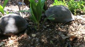 Il maschio sollecita la tartaruga gigante femminile di Aldabra archivi video