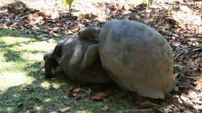 Il maschio sollecita la tartaruga gigante femminile di Aldabra stock footage
