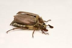 Il may-bug sopra bianco Immagini Stock