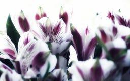 il mazzo di alstroemeria fiorisce il primo piano bianco del fondo Fotografie Stock Libere da Diritti
