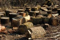 Il mazzo di apre la sessione la foresta della sorgente Fotografia Stock