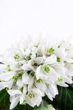 Il mazzo di bucaneve, molla bianca fiorisce su fondo leggero Copi lo spazio Fotografia Stock