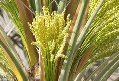 Il mazzo di date verdi molto piccole germoglia nell'albero della palma da datteri Fotografia Stock