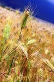 Il mazzo di grano dorato Fotografie Stock