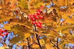 Il mazzo di maturo rosso assorbe la crescita sull'albero Fotografie Stock