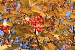 Il mazzo di maturo rosso assorbe la crescita sull'albero in autunno Fotografie Stock