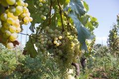 Il mazzo di uva del vino rosso pende da una vite, calda Uva matura con le foglie verdi Fondo della natura con la vigna uva matura Fotografie Stock