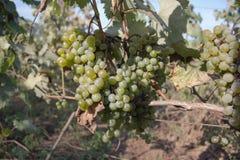 Il mazzo di uva del vino rosso pende da una vite, calda Uva matura con le foglie verdi Fondo della natura con la vigna uva matura Fotografia Stock Libera da Diritti