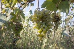 Il mazzo di uva del vino rosso pende da una vite, calda Uva matura con le foglie verdi Fondo della natura con la vigna uva matura Fotografie Stock Libere da Diritti