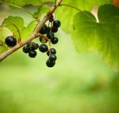 Il mazzo di uva passa con un giardino ostacola nel fuoco. Fotografie Stock