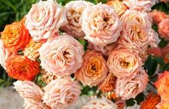 Il mazzo variopinto della rosa nel giardino immagini stock libere da diritti