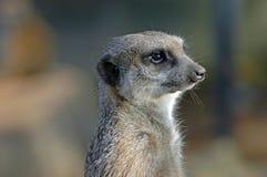 Il meerkat Immagini Stock Libere da Diritti