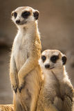 Il Meerkat Fotografia Stock