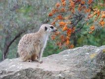 Il meerkat nello zoo di Praga Fotografia Stock Libera da Diritti