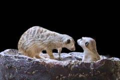 Il Meerkat sveglio isolato fotografie stock