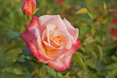 Il ` Meilland di Laetitia Casta del ` della rosa di rosa ha vinto molti premi internazionali Fotografia Stock