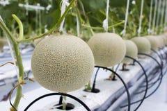 Il melone fruttifica nell'azienda agricola (idroponica) del melone Fotografia Stock