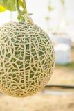 Il melone in serre Fotografie Stock