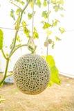 Il melone in serre Immagine Stock