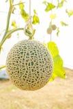 Il melone in serre Fotografia Stock