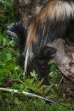 Il mephitis di Kit Mephitis della moffetta a strisce grida nell'ambito del ` la s T della madre Fotografia Stock