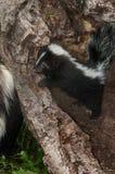 Il mephitis di Kit Mephitis della moffetta a strisce scruta sopra il ceppo alla madre Immagini Stock Libere da Diritti