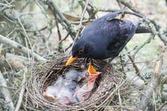 Il merlo al nido con gli uccelli di bambino affamati Fotografia Stock