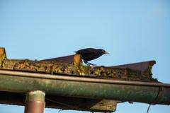 Il merlo sul tetto Fotografia Stock Libera da Diritti