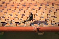 Il merlo sul tetto Immagine Stock