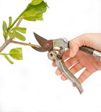 Il metallo scissors la filiale di taglio Immagine Stock Libera da Diritti
