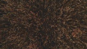 Il metraggio aereo della cima giù del giacimento di grano che mostra i raccolti di grano dorati mobili lentamente dal grano del v archivi video